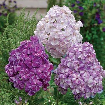 Potpourri Purple Phlox
