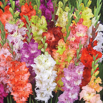 Fringed Glamini<sup>®</sup> Gladiolus Mixture