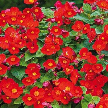 Le Flamboyant Multiflora Begonia