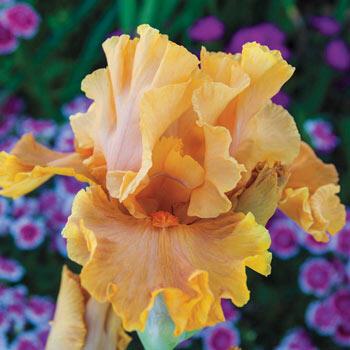 Cordoba Reblooming Bearded Iris