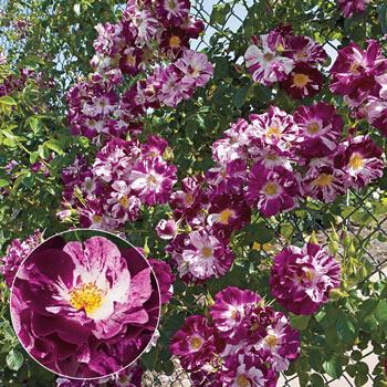 Purple Splash<sup>™</sup> Climbing Rose