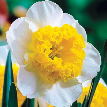 Curly Daffodil
