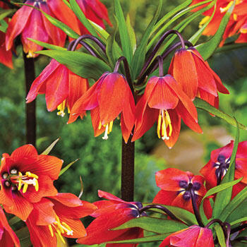 Chopin Crown Imperial