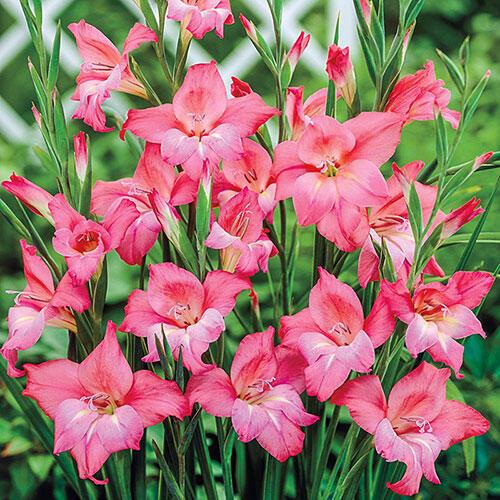 Charming Beauty Hardy Gladiolus