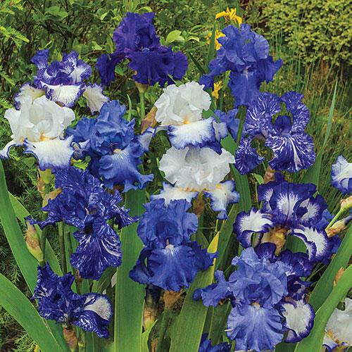 Heavenly Blues Iris Mixture Super Sak®