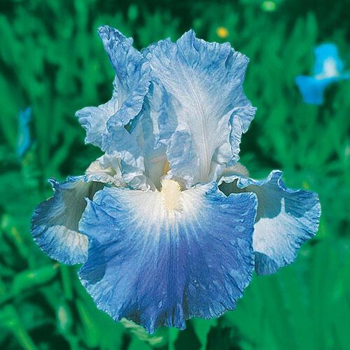 Clarence Reblooming Bearded Iris