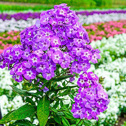 Goliath Phlox Tree™