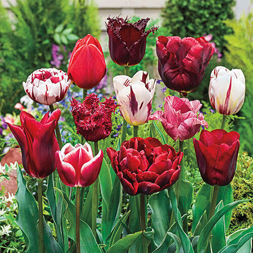 Variatie Red™ Tulip Mixture