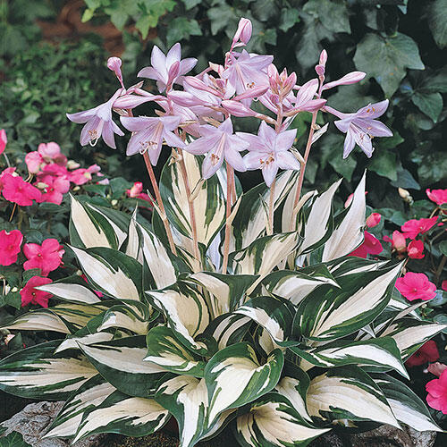 Shop Fire And Ice Hosta At Brecks