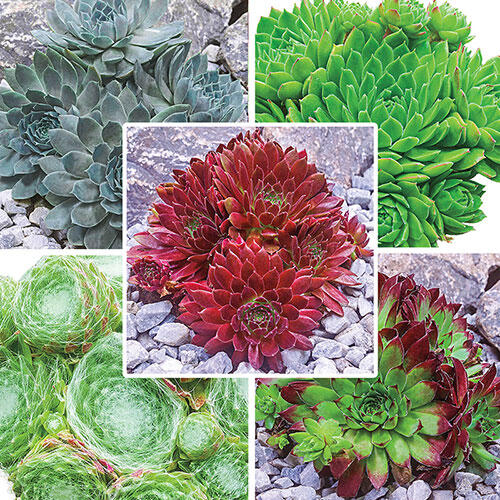 Hens & Chicks Collection
