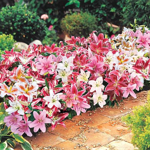 Oriental Carpet Border Lily Mixture
