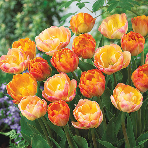 Peach Melba Tulip Duet™