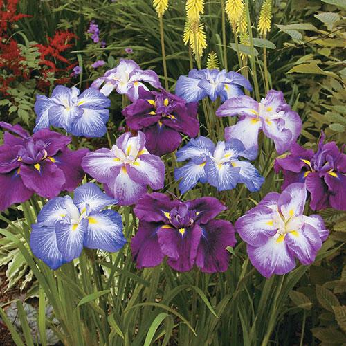 Japanese Iris Mixture Super Sak®