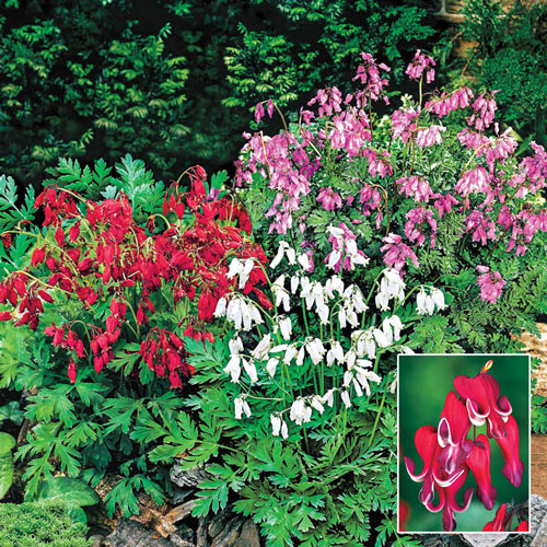Reblooming Bleeding Heart Mixture