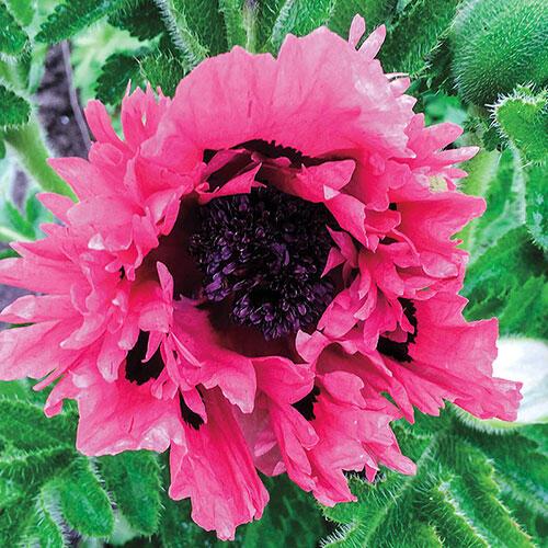 Pink Sensation Oriental Poppy