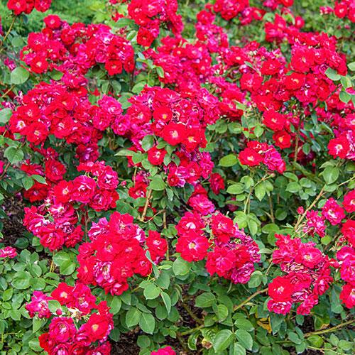Rose Champlain