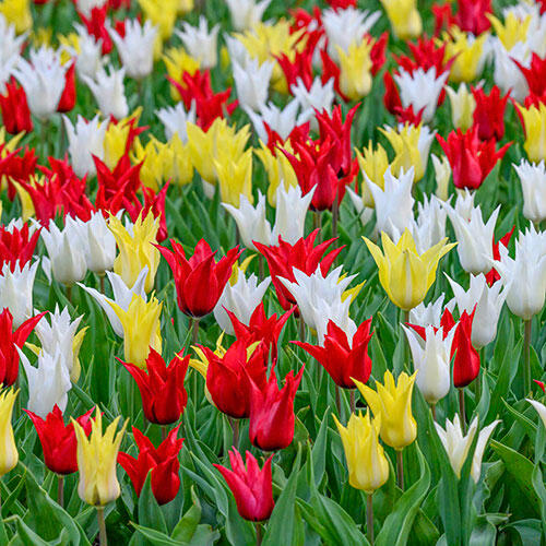 Très Chic Festival Tulip Mixture