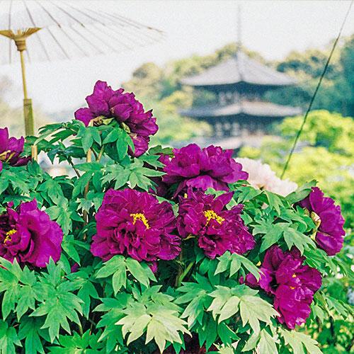 Shimadaijin Tree Peony