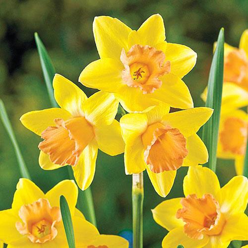 Blushing Lady Daffodil