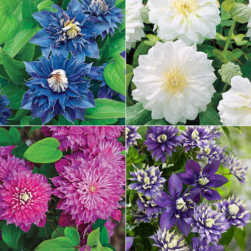 Double Clematis Collection