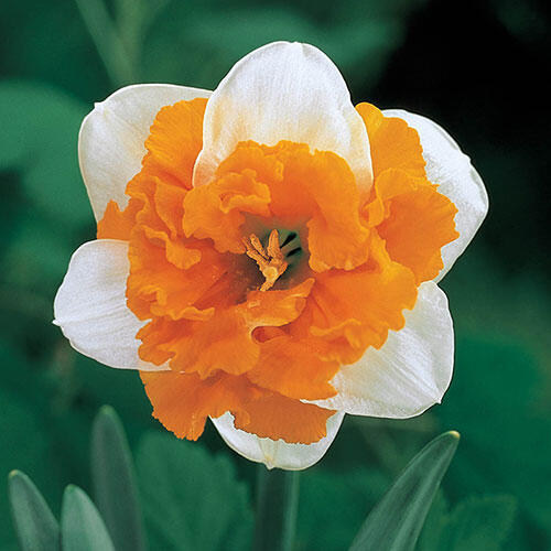 Orangerie Daffodil