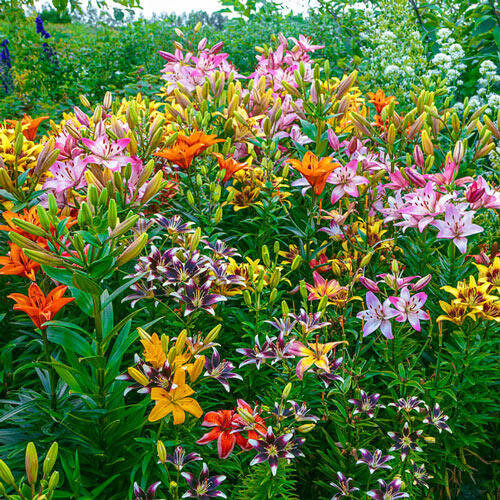 Fireworks Lily Mixture
