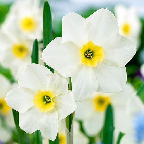 Lieke Daffodil