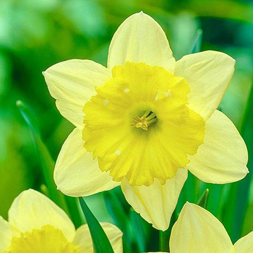 Raoul Wallenberg Daffodil