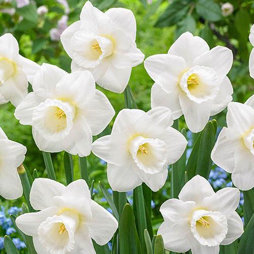 Creation Daffodil
