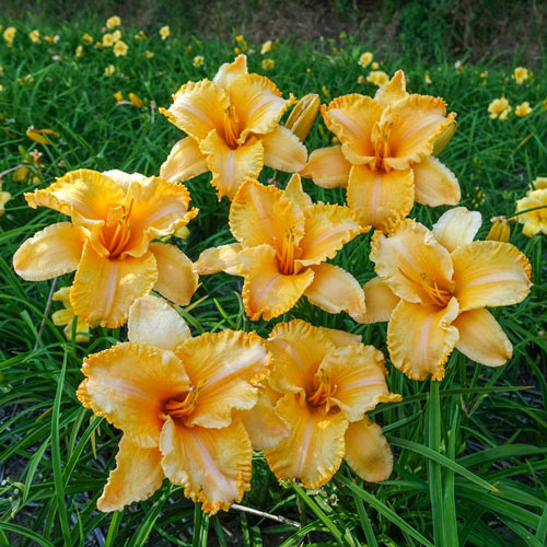 Colonel Mustard Reblooming Daylily