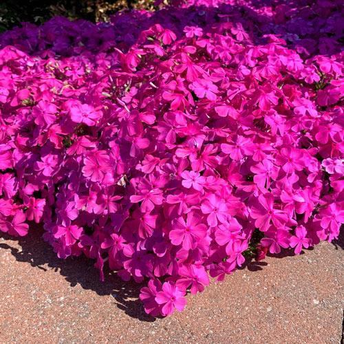 Pink Drummond Carpet Phlox