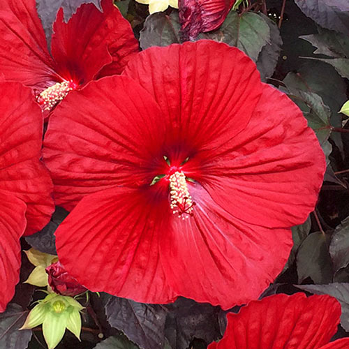 Holy Grail Hibiscus Brecks Premium Bulbs
