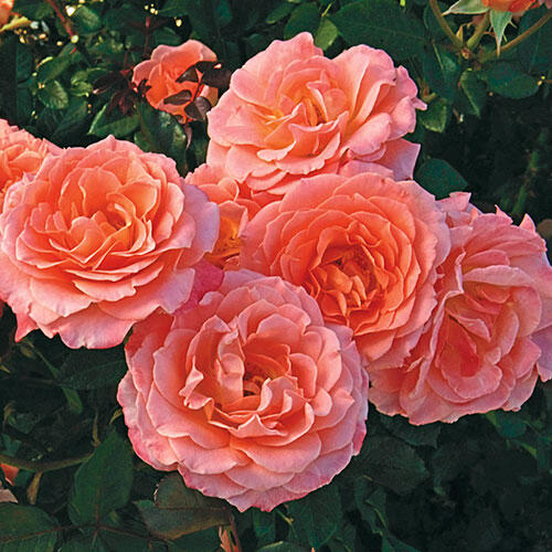 Jump for Joy®  Floribunda Rose