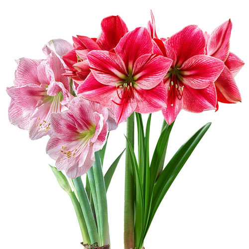 Think Pink Amaryllis Collection
