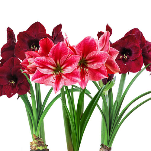 Dramatic Divas Amaryllis Collection
