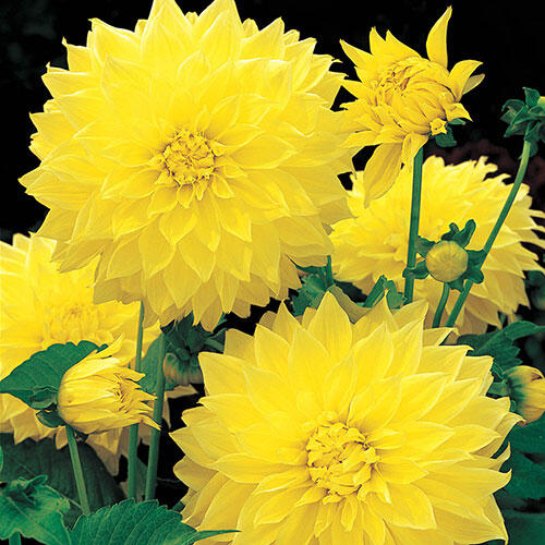 Kelvin Floodlight Dahlia