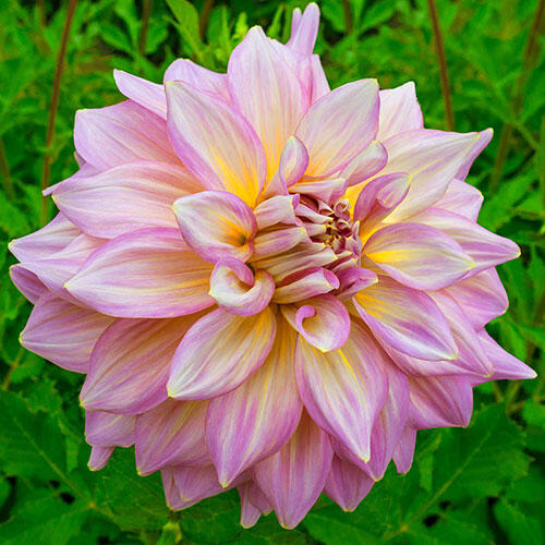 Strawberry Ice Dahlia