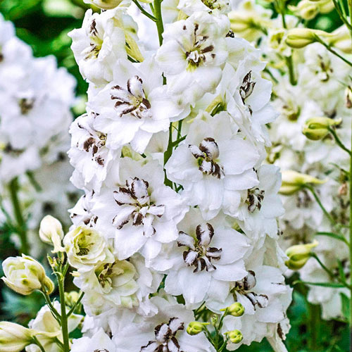 Black Eyed Angels Delphinium