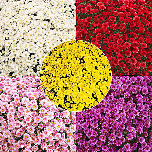 Garden Mum Collection