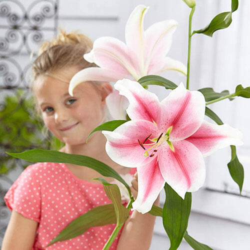 Pink Brilliant Lily Tree®
