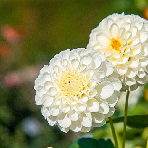 Snowflake Dahlia
