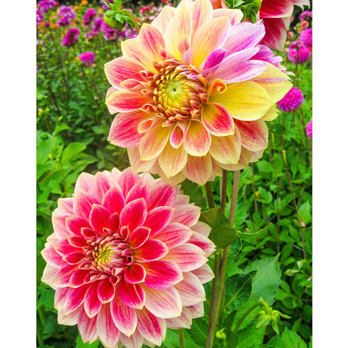 Temple of Beauty Dahlia