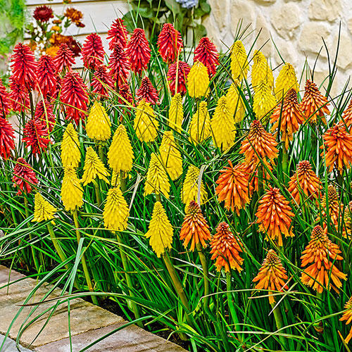 All Summer Blooming Little Hot Poker Poco™ Mixture