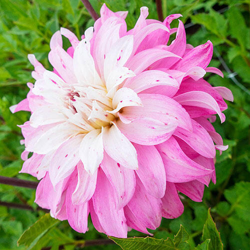 Pink Petticoat Dahlia