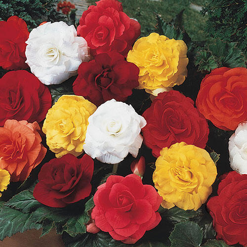 Double Begonia Mixture Super Sak®