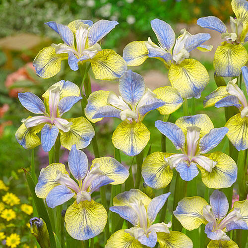 Tipped in Blue Siberian Iris
