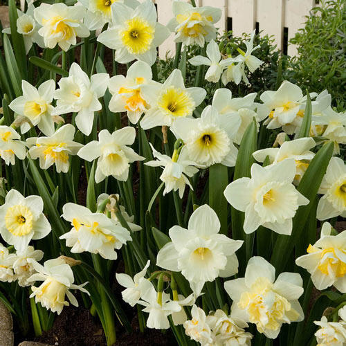White Daffodil Mixture