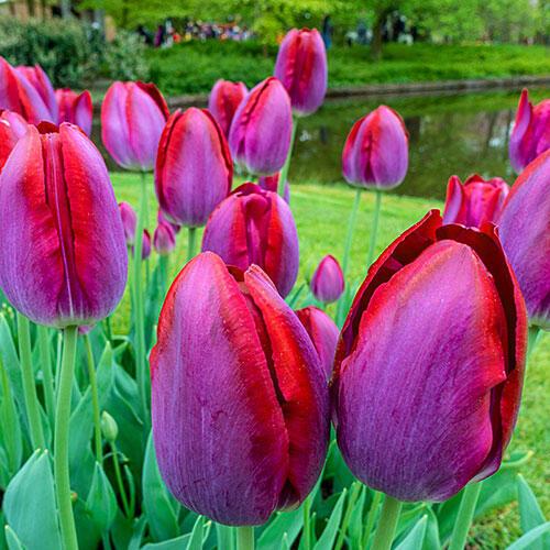 Pittsburg Tulip