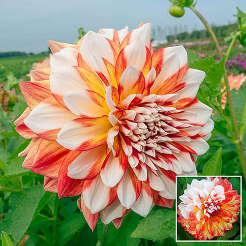 Three-Alarm Dahlia