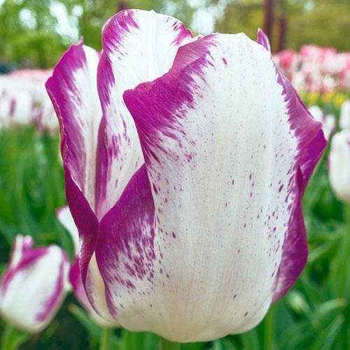 Affaire Tulip